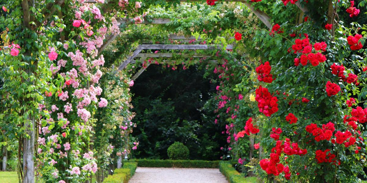 climbing perennial - rose
