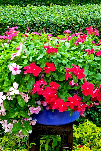 million bells - calibrachoa hanging basket plant