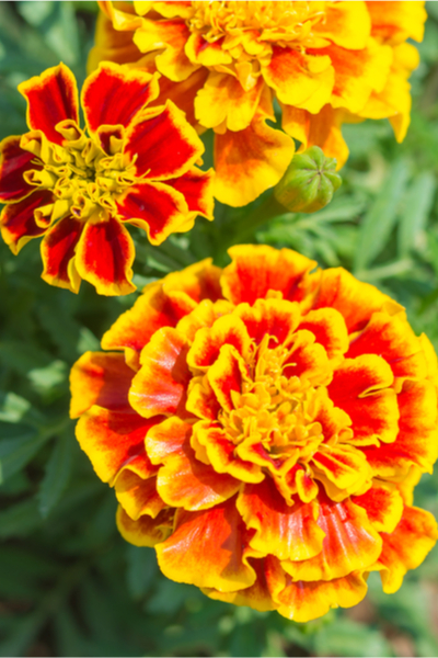 growing vegetables with flowers - marigolds