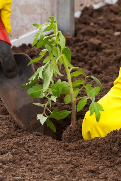 hardening off vegetable plants
