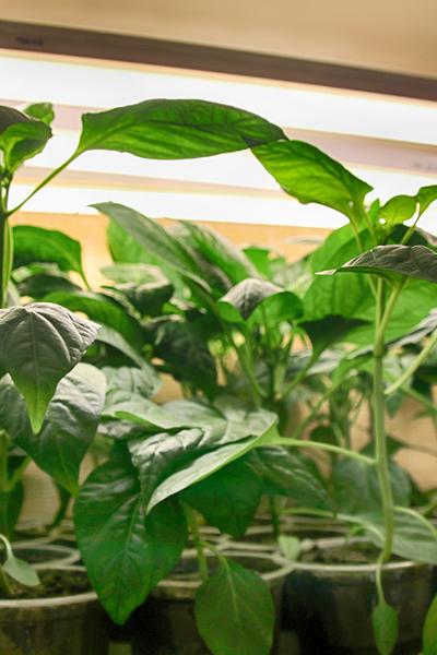 seedlings indoors