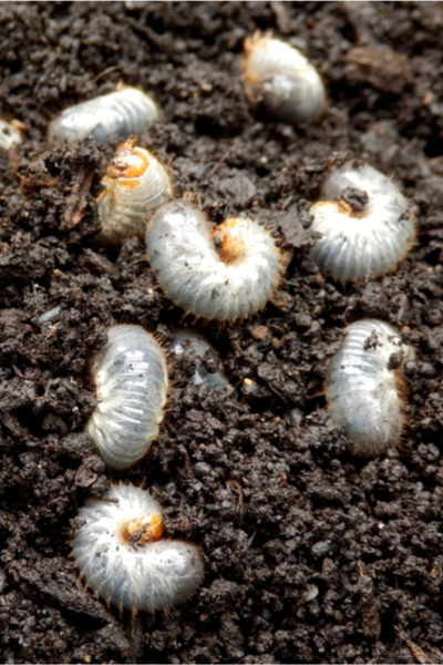 June bug grubs