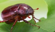 How To Stop June Bugs – Simple, Natural Methods That Work!
