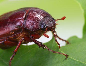 Stop June bugs