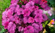 Growing Perennials In Pots – 3 Great Choices For Lasting Summer Color!