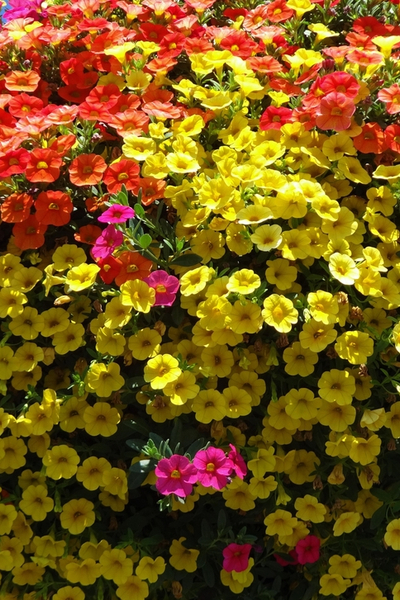the perfect hanging basket plant - million bells