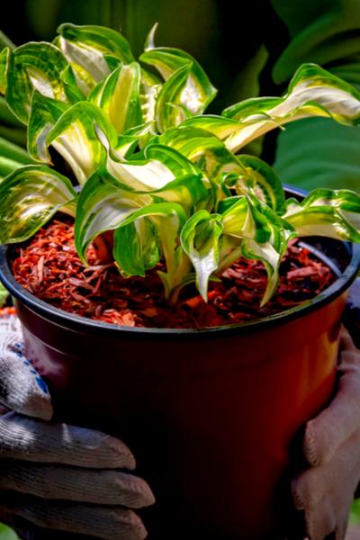 Hosta Plants - Container