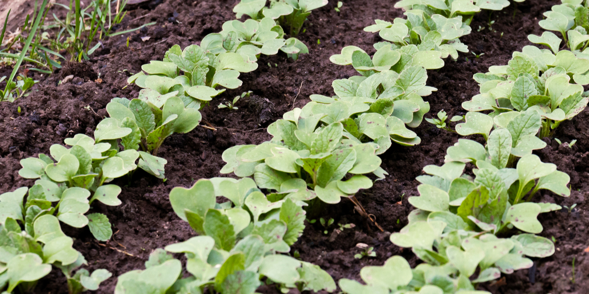 how to thin seedlings