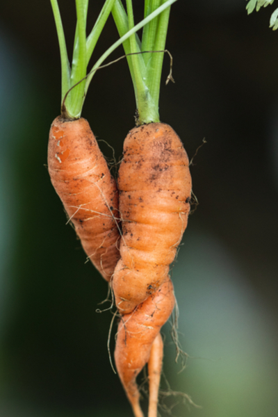 twisted carrots - thin seed crops
