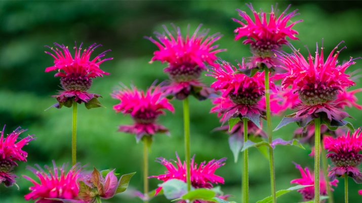 growing bee balm