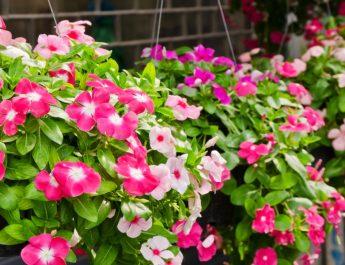 keep hanging baskets blooming