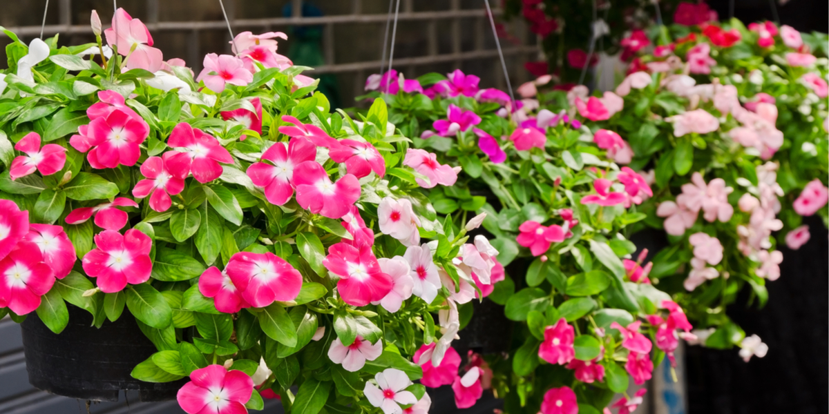keep hanging baskets blooming