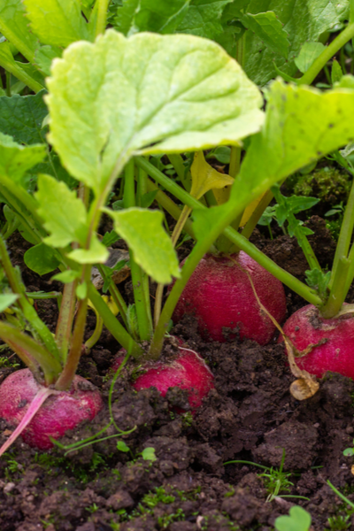 saving seed from spring crops -radish seeds