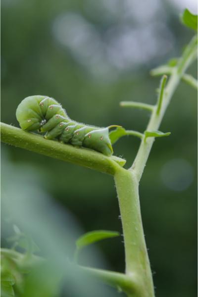 tomato hornworm - wasps