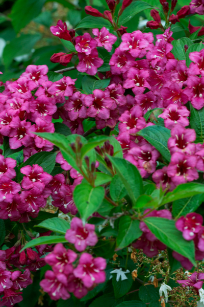 growing weigela