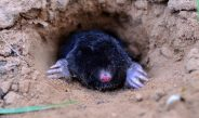 How To Stop Ground Moles In The Garden & Landscape – Naturally!