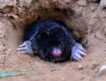 stop ground moles