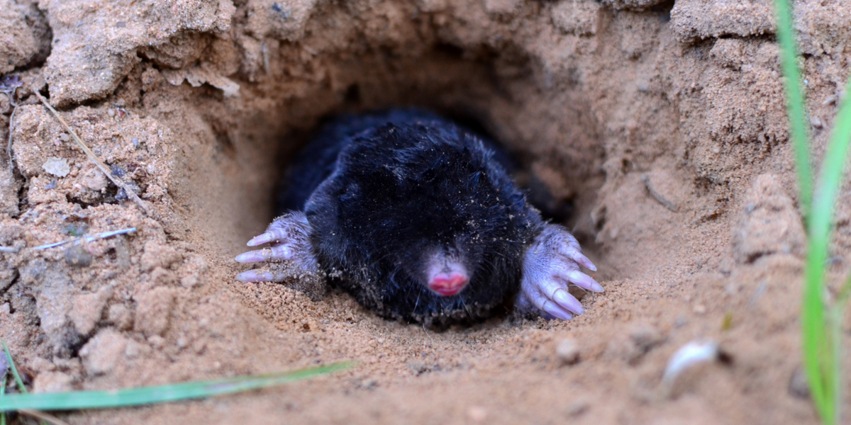 stop ground moles
