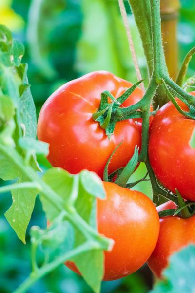 wasps help tomato plants