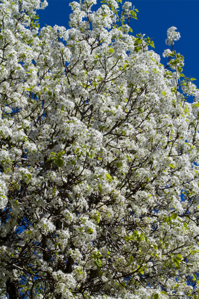 trees to avoid - Bradford Pear