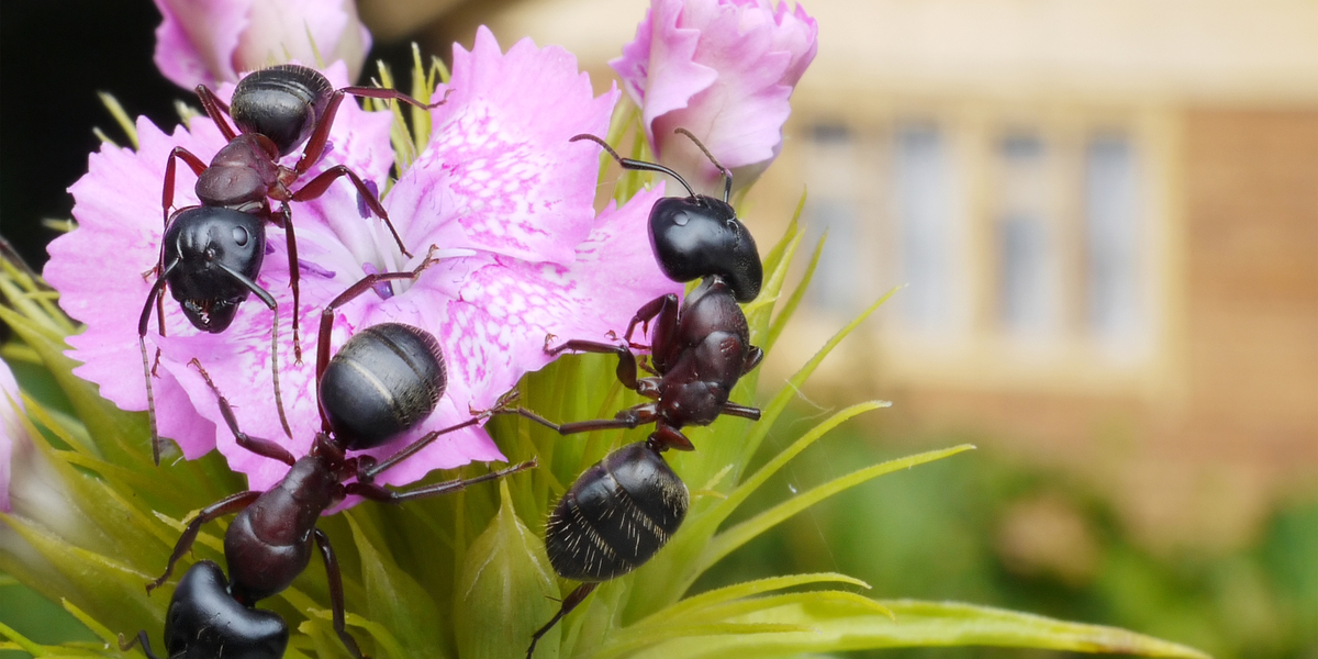 controlling ants