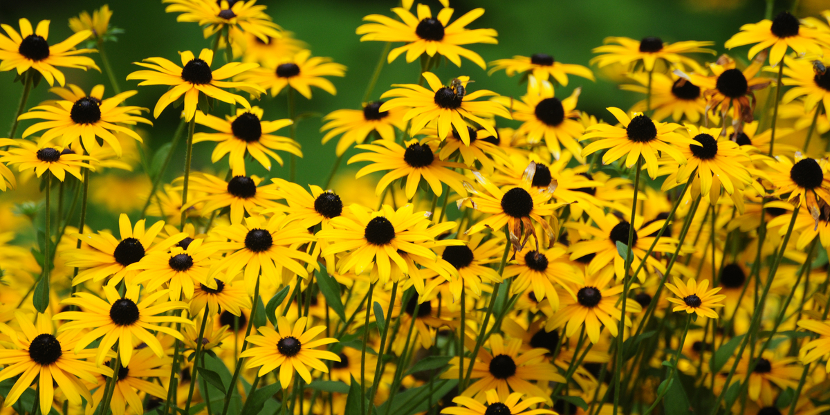 growing black eyed susan