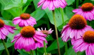 Growing Coneflowers – The Perennial That Brings Birds, Bees & Butterflies!