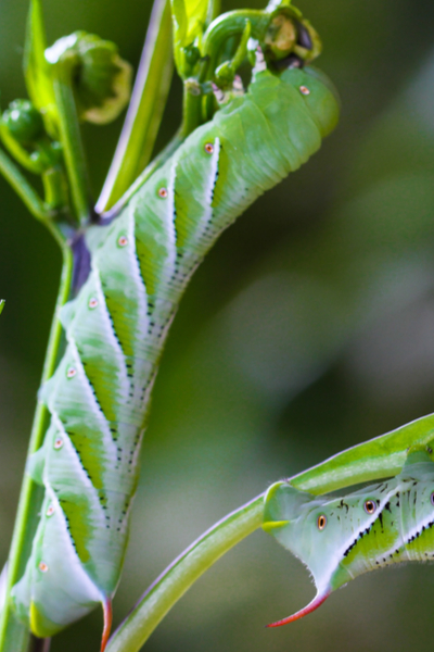 stopping tomato hornworms