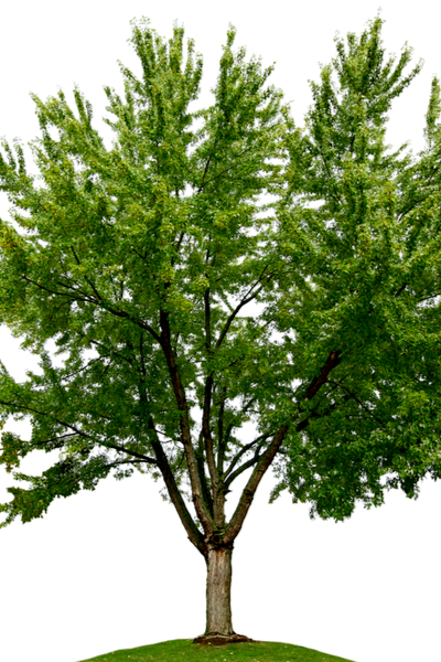 trees you should never plant - silver maple