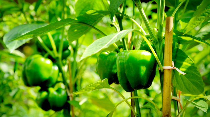 how to stake and prune pepper plants