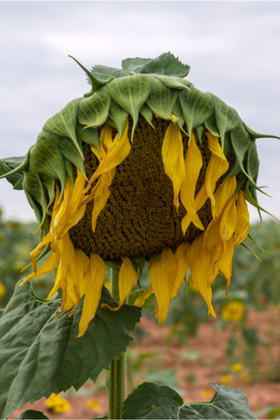 harvesting and drying sunflower seeds