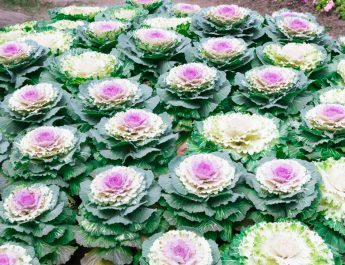 growing ornamental cabbage