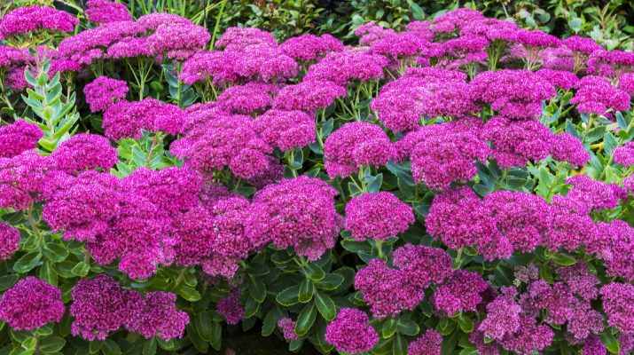 how to plant sedum