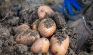 How To Harvest, Cure And Store Potatoes For Long-Term Storage