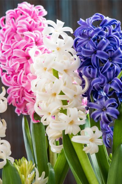 planting hyacinth
