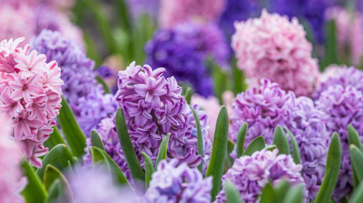 how to plant hyacinth bulbs