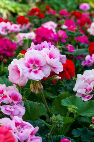 hardy geraniums