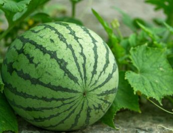 when to pick melons