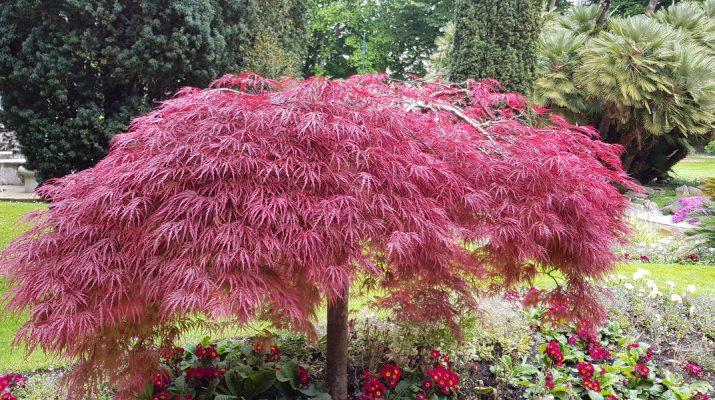growing dawrf Japanese Maple Trees