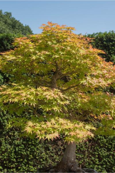 dwarf japanese maple tree