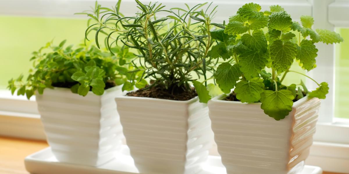 bringing herbs indoors