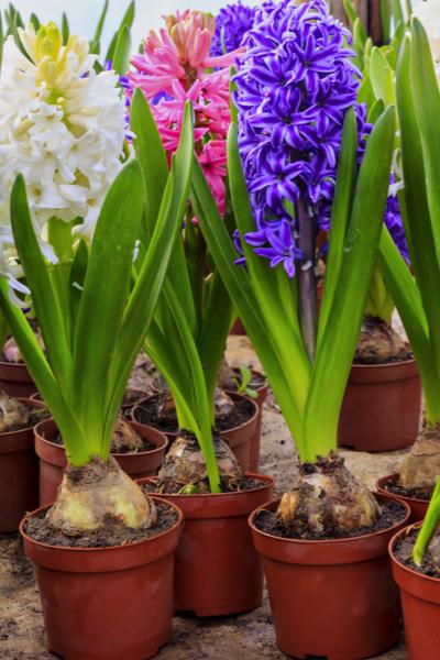 grwoing hyacinth
