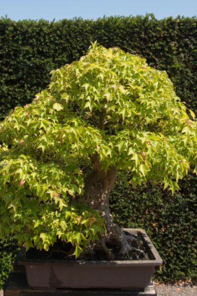Dwarf Maple Trees