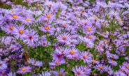 How To Grow Asters – The Perfect Fall Perennial With Big Color!