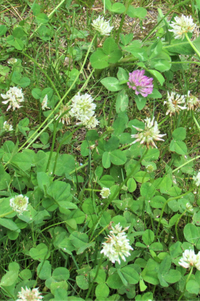 clover growing - weeds in a compost pile