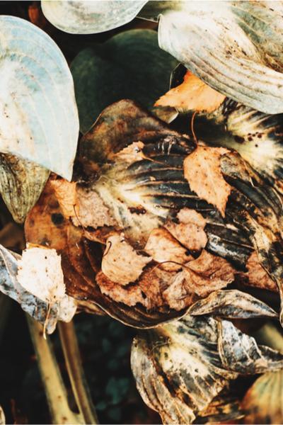 decaying hosta foliage - fall hosta care