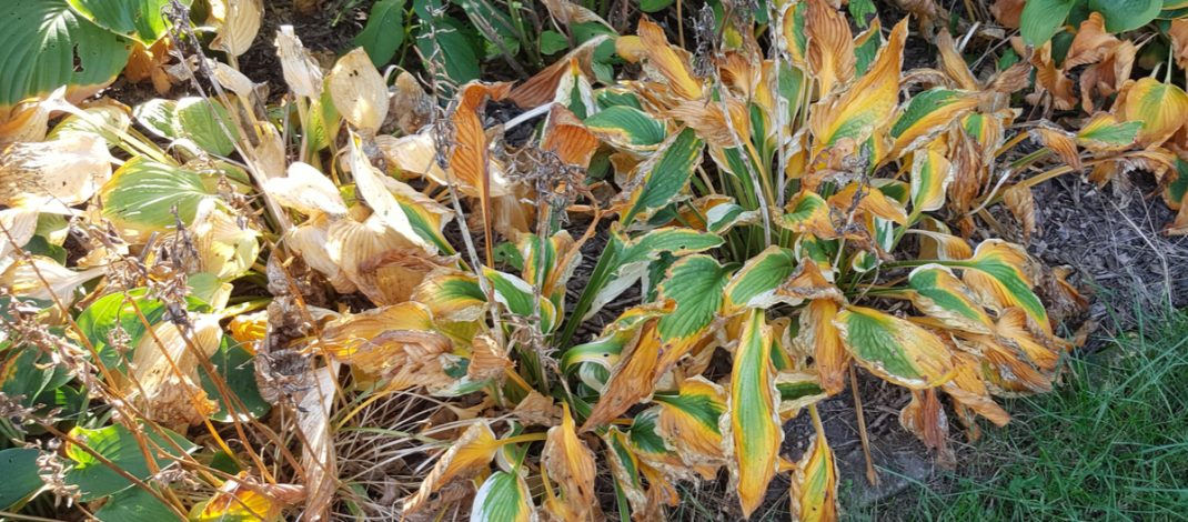 Fall Hosta Care – How To Care For Hosta Plants Before Winter!
