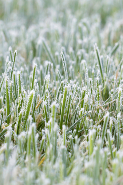 how to mow the grass before winter