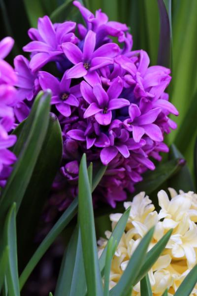 hyacinth bulbs blooming