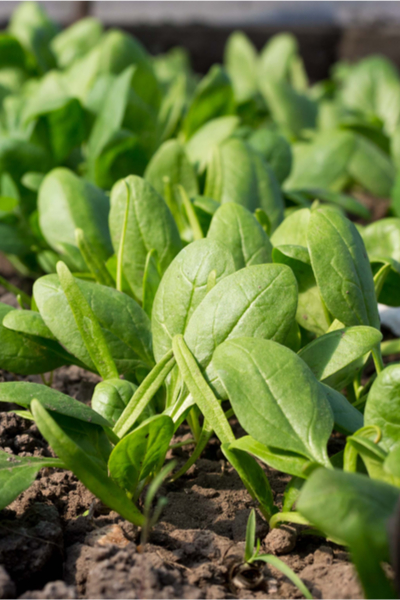 growing vegetables in a cold frame - spinach